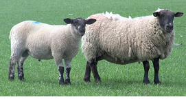 Excellent Sheep Pdf