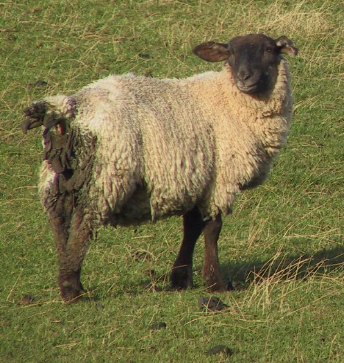 1 Gastrointestinal Nematode Infestations in Sheep PGE