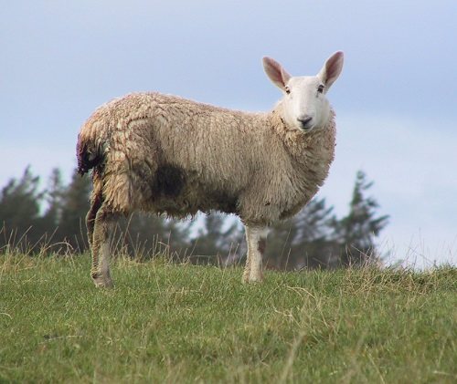 2 Gastrointestinal Nematode Infestations in Sheep PGE Emaciation