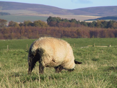 11 Gastrointestinal Nematode Infestations in Sheep Trichostrongylosis