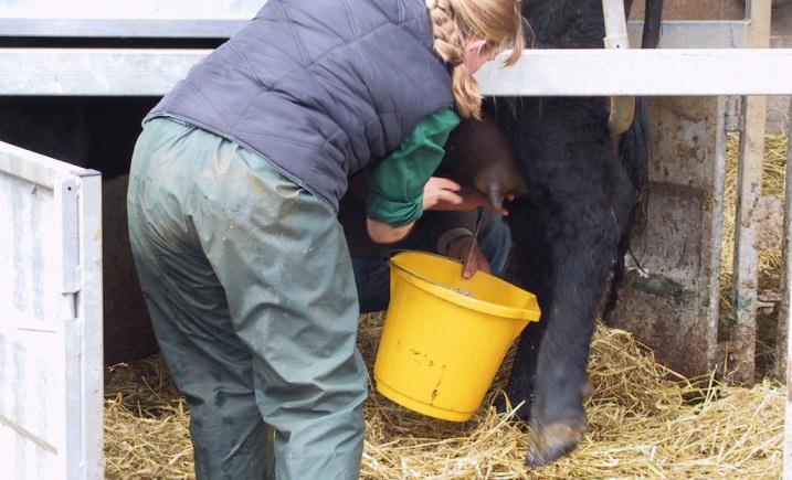 Stripping of the udder should be undertaken as often as is practical