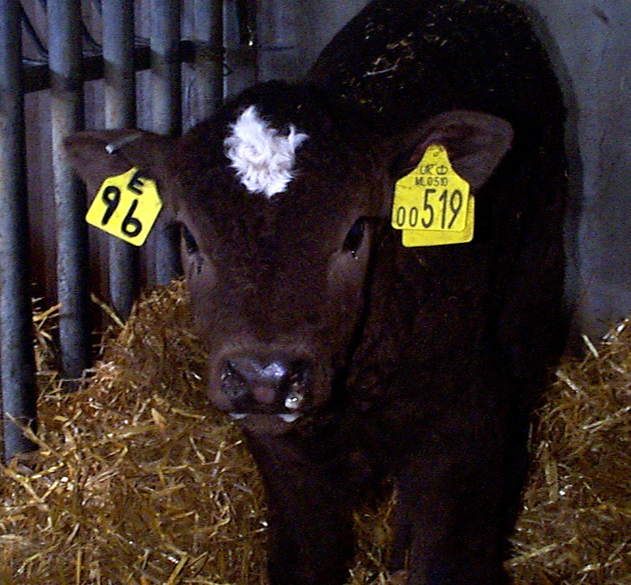 8 successful fluid therapy calf