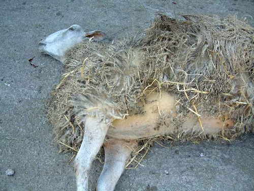 5 Copper poisoning sheep death yellow skin
