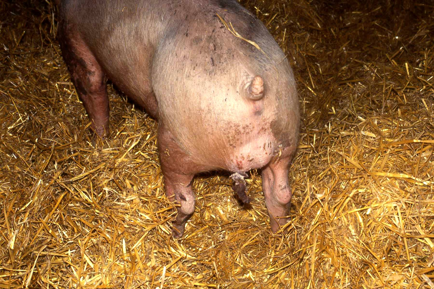 Swine Erysipelas: Causes, Signs and Methods of Treatment