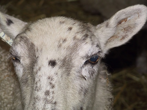 3 Eyes sheep Infectious keratoconjunctivitis