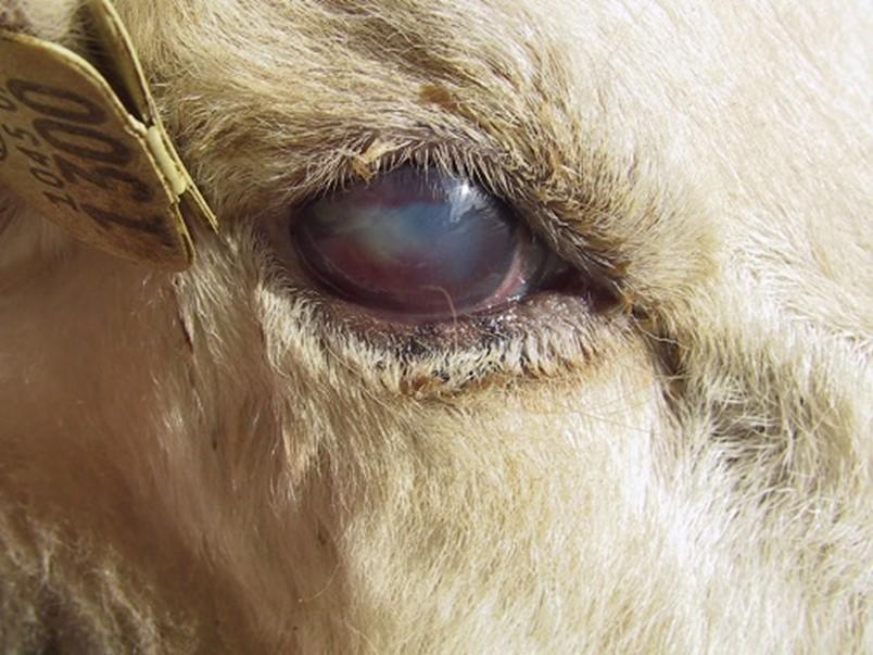 الشكل 10: التهاب القزحية المبكر - لاحظ وجود ضباب خفيف على سطح العين.