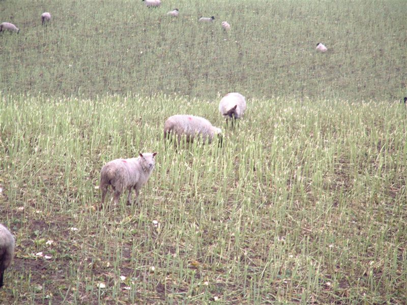 2 Feeding lambs rape and kale nitrate