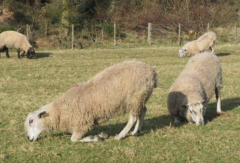 Fig 4 Footrot has caused severe lameness in all three Blueface Leicester rams in this group.