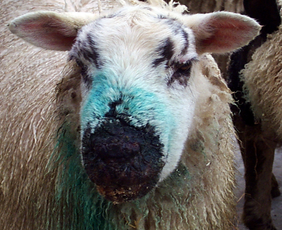 Really. agree preventing facial eczema in sheep better