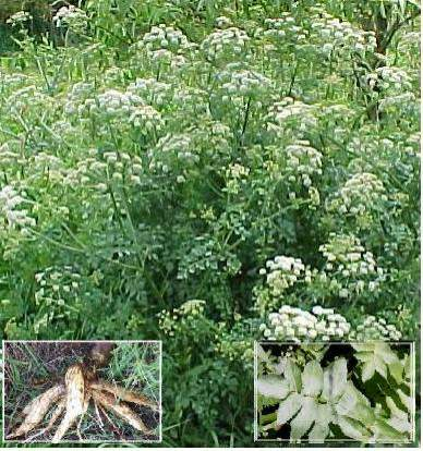 10 water dropwort poisoning