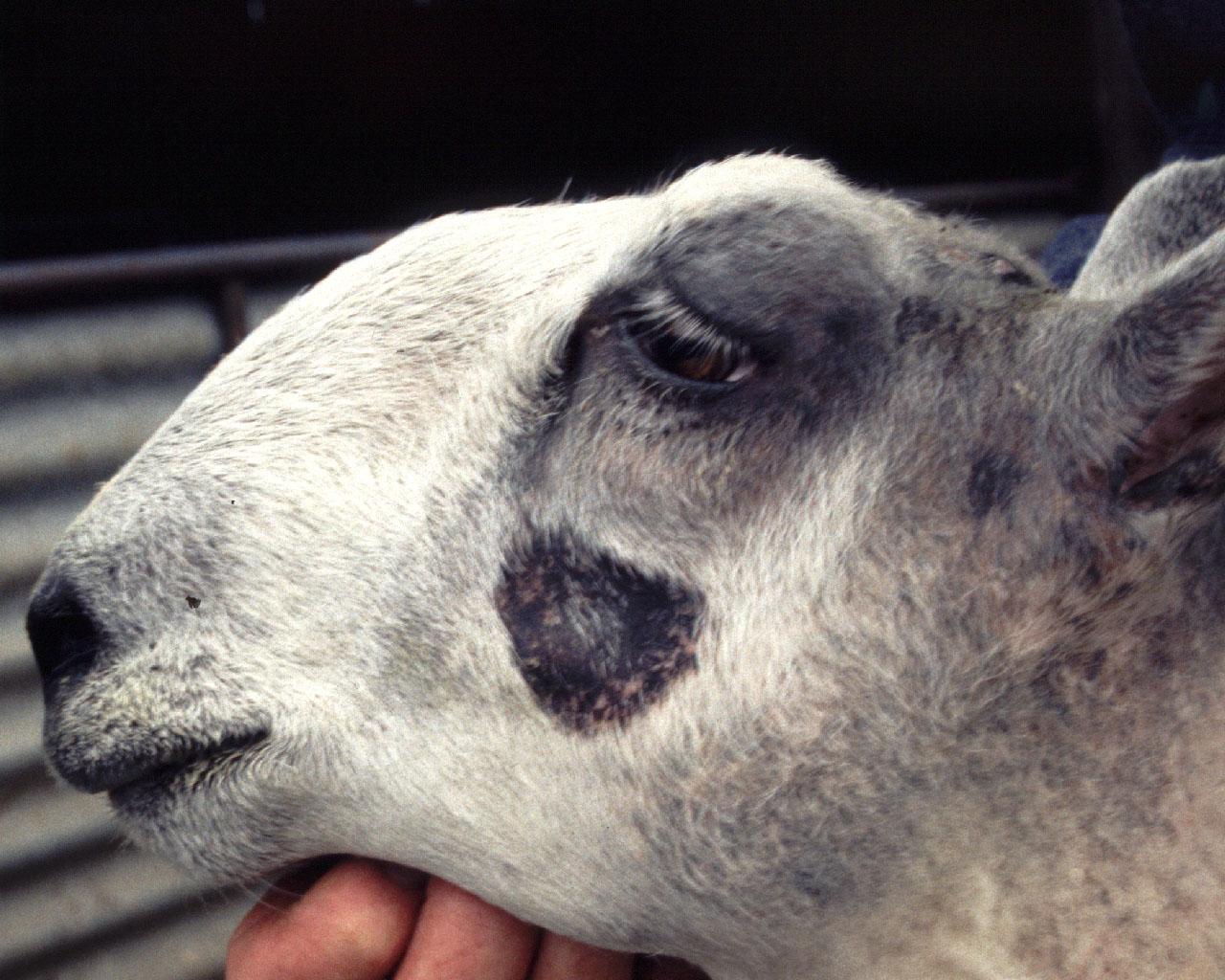 sheep flock health sargison neil