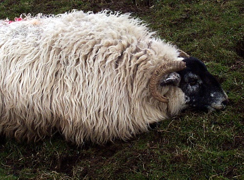 17 Pre lambing ewe nutrition and metabolic diseases hypocalcaemia weak depressed